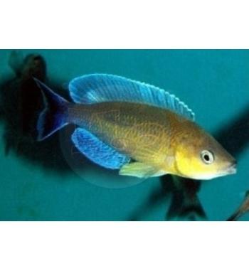 Cyprichromis leptosoma Turquise Flame
