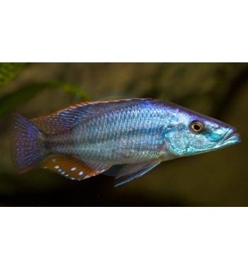 Haplochromis compressiceps Gombe