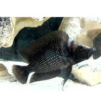 Lamprologus calvus Black Pectoral