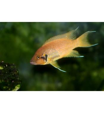 Lamprologus helianthus Gold