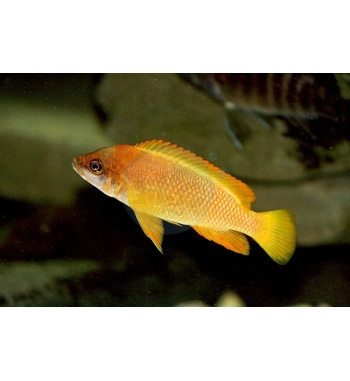 Lamprologus mustax Orange