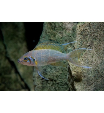Lamprologus pulcher