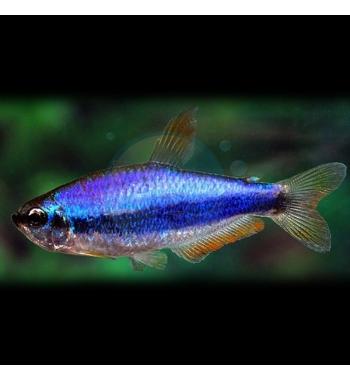 "Inpaichthys kerri ""Super blue"""