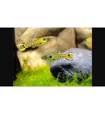 Micropoecilia sp. Endleri Tiger
