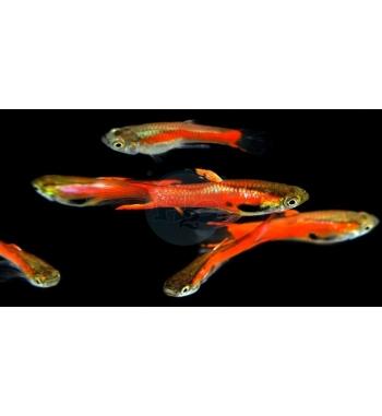 Micropoecilia sp. Endler Red Scarlet