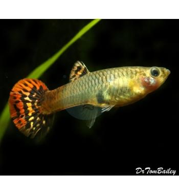 Poecilia reticulata COBRA RED Female