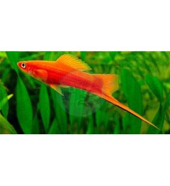 Xiphophorus helleri Red
