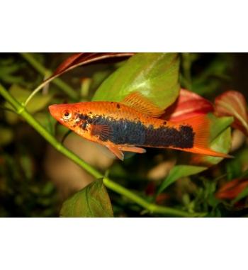 Xiphophorus helleri Red Tuxedo