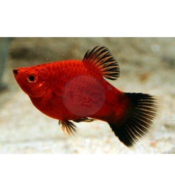 Xiphophorus maculatus Red Wagtail