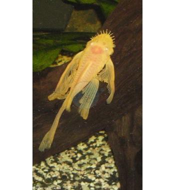 Ancistrus sp. Gold long fin
