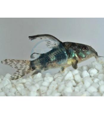 Corydoras paleatus long fin