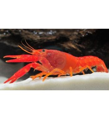 Procambarus clarkii Orange