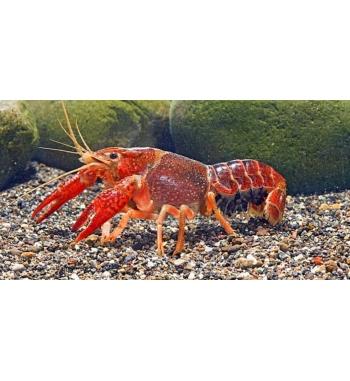 Procambarus clarkii Red