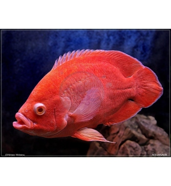 Astronotus ocellatus Red Albino