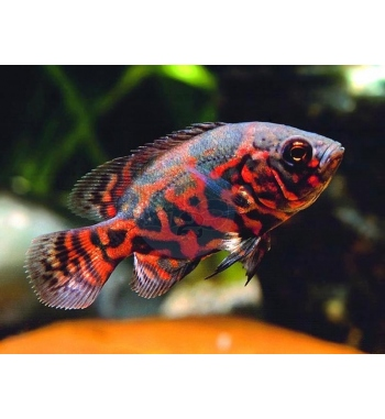 Astronotus ocellatus Red Tiger