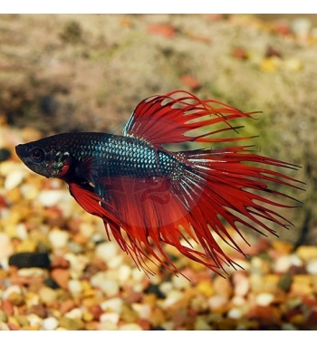 Betta splendens Crown Tail Male mix colour
