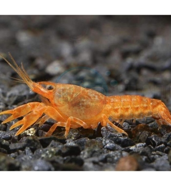 "Cambarellus patzcuarensis ""Orange mini cray"""