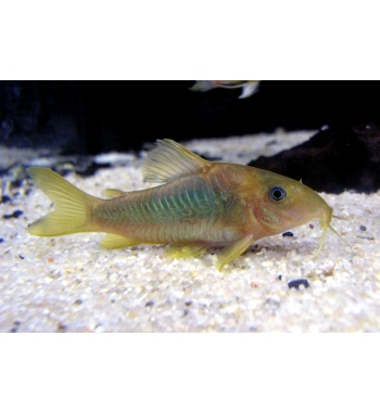 Corydoras brochis splendens XL