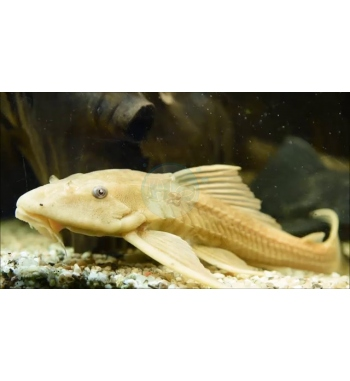 Hypostomus plecostomus Gold
