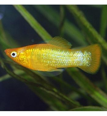 Poecilia sphenops 24 Karat Gold