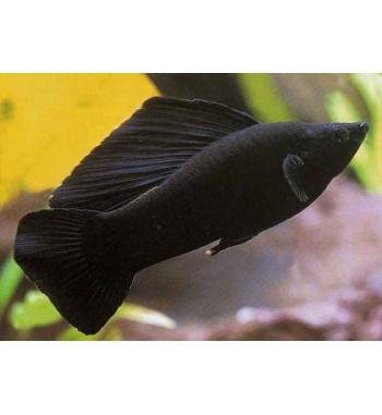 Poecilia velifera Black