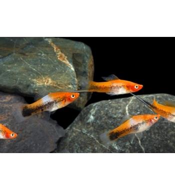 Xiphophorus helleri SANKE TRICOLOR