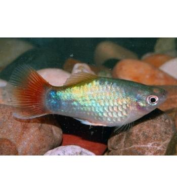 Xiphophorus maculatus BLUE CORAL