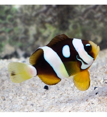 Amphiprion Galaxy Clarkii (COPPIA)