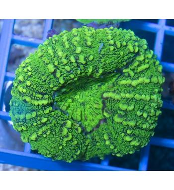 Lobophyllia ultragreen