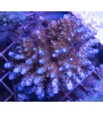 Acropora efflorescens