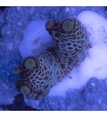 Acropora millepora ultracolor
