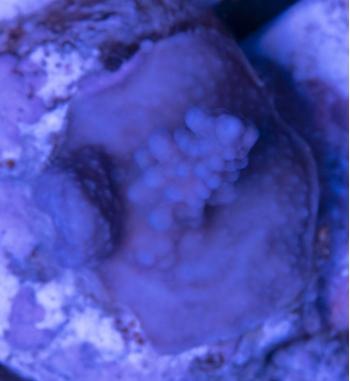 Acropora s.p. blu