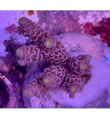 Acropora tenuis ultracolor