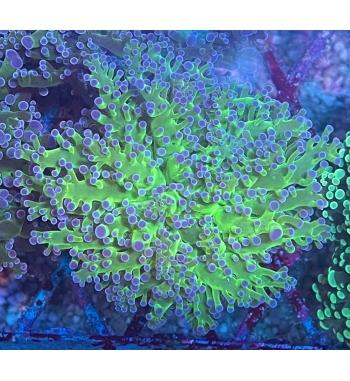 Euphyllia divisa green reverse