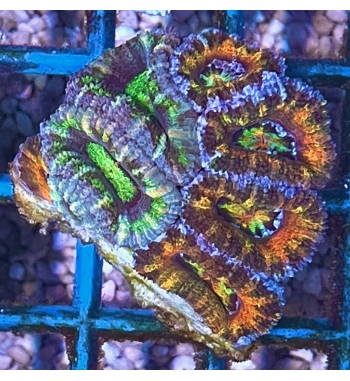 Acanthastrea lordhowensis rainbow