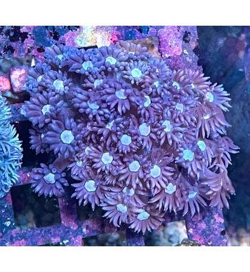 Goniopora purple