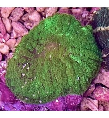 discosoma green