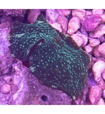 discosoma green spotted