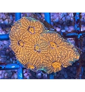 Acanthastrea echinata orange