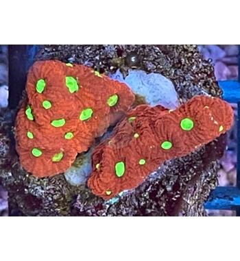 Favia maritima (war coral)