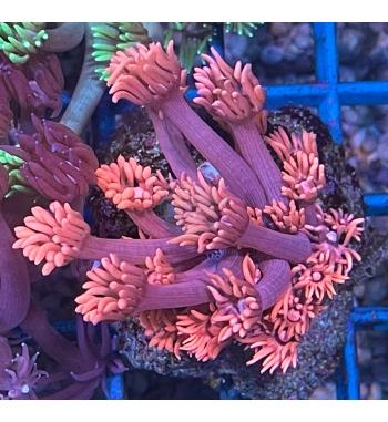 Goniopora shocking pink