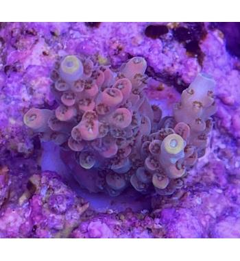 Acropora latistella