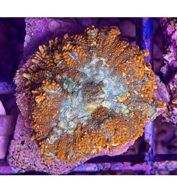 discosoma green-orange