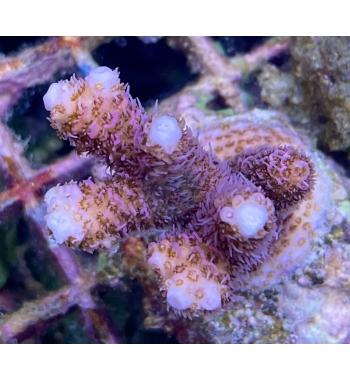 Acropora millepora